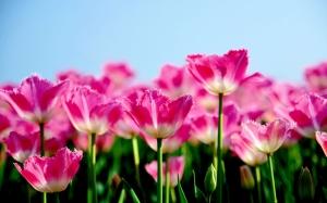 tulipany irn dzien kobiet