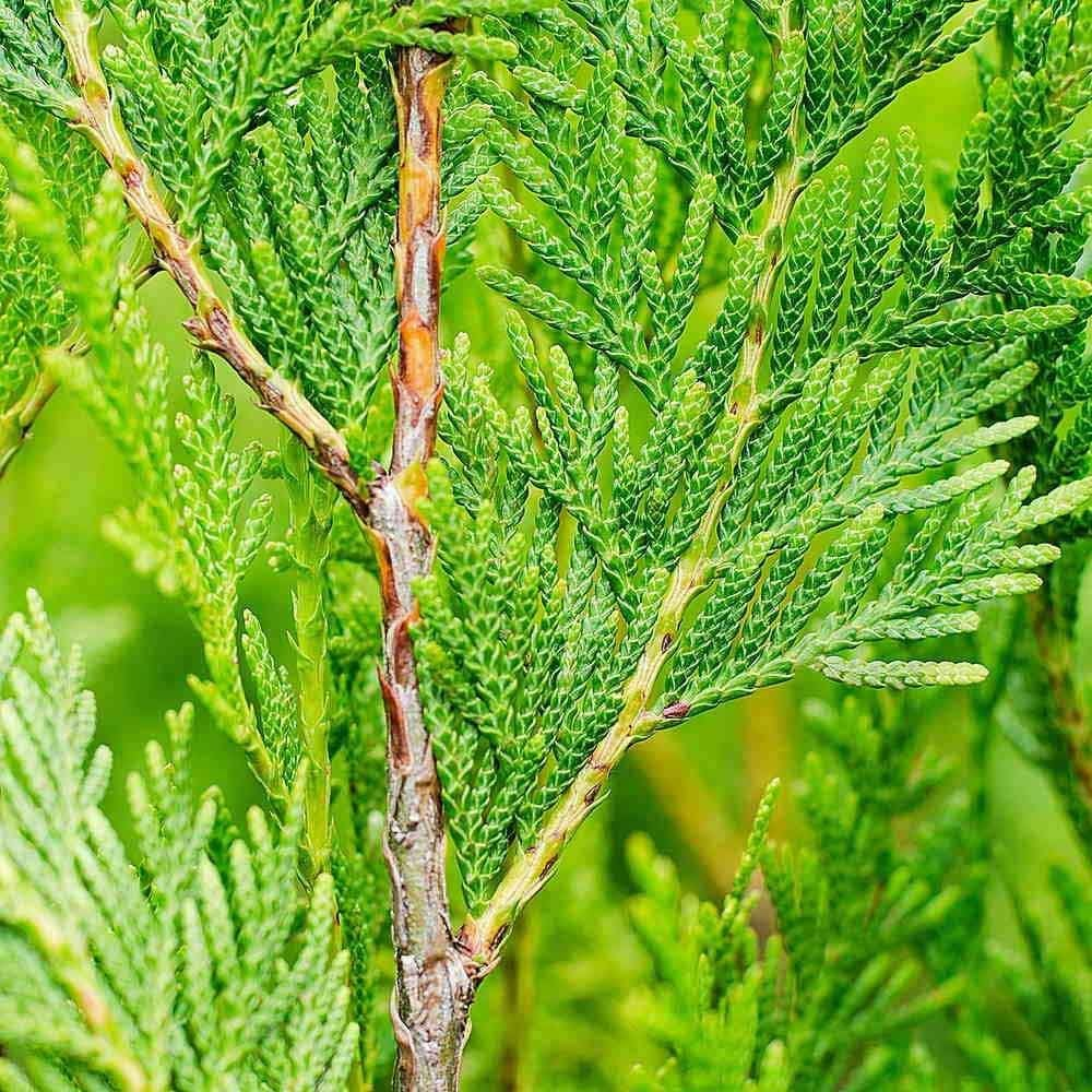 Cedr Drzewo